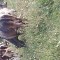 Коровы стельные, в Новосибирске