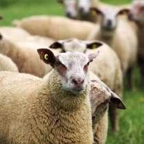 Племенные овцы Шароле (Скот из Европы класса Элита), в Красноярске