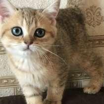 Британские золотые котята, в Москве