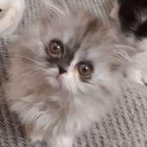 Персидские и экзотик котята, в г.Мариуполь
