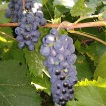 Продам домашний, сладкий виноград, в г.Луганск