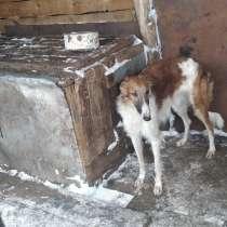 Продаются русские псовые борзые, в Пензе