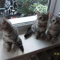 Продаются породистые короткошерстные британские котята, в г.Минск