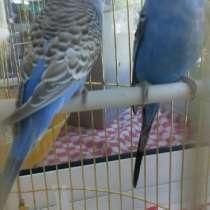Продаю попугаев, в Калуге