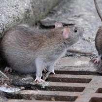 Истребление крыс, в Туле
