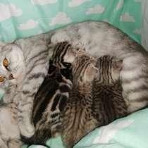 Шотландские котята, в г.Орша