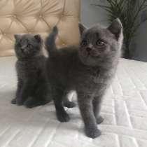 Продаются котята, породистые британцы, в г.Черновцы