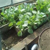 Продам расаду капусты, в Усть-Илимске
