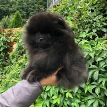 BLACK POMERANIAN BOY FOR SALE, в г.Рига