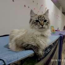 Невский маскарадный кот, в Севастополе