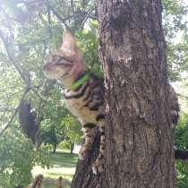 Бенгальские котята, резервирование, в г.Кривой Рог