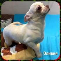 Щенки 6 мес. чихуахуа, в Москве