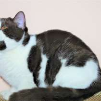 Британский кот, в г.Астана