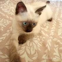 Прекрасный Сиамский Котёнок, в Москве