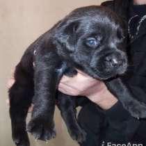Labrador Retriver dzaqer, в г.Ереван