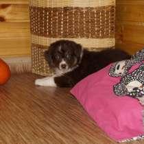 Предлагаются к бронированию щенки Ауси, в г.Киев