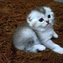 Шиншиловый котенок, в г.Гомель