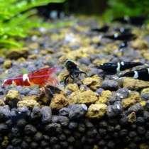 Креветка Caridina Cantonensis sp. Black Taiwan Bee- King Kon, в г.Днепропетровск
