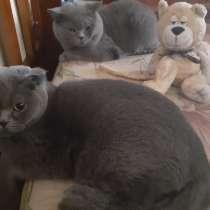 Кот британец на вязку!, в Москве
