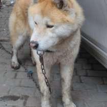 Пропала собака - большая рыжая с розовым носом, в Ростове-на-Дону