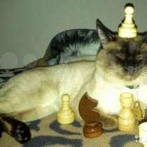 Клубные тайские (сиамские) котята, в Калининграде