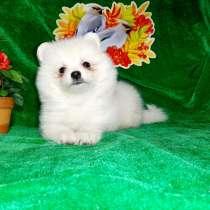Яркие красивые щеночки шпица, в Вологде