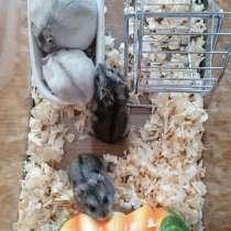 Джунгарские хомячки, в Чебоксарах