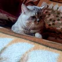 Шотландский кот шиншилла вязка, в г.Гомель