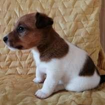 Джек рассел терьер щенок, в Пятигорске