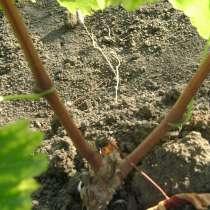 Саженцы беспроблемных сортов винограда, в Севастополе