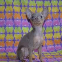 Той- терьера щенки, в г.Нарва