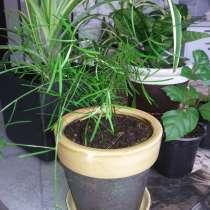 Аспарагус - воздушное комнатное растение, в Санкт-Петербурге
