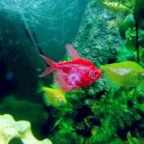 Продам аквариумных рыбок, в Истре