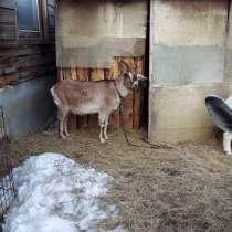 Коза дойная, в Троицке