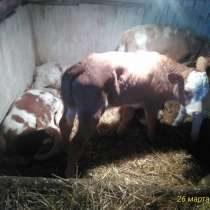Телята, бычки, в Богучарах