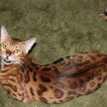 Бенгальские котята, в г.Тбилиси