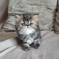 Персидские котята, в г.Гомель
