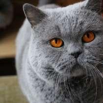 Взрослый британский кот в добрые руки, в Москве