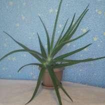 Продам Алоэ - вера, растение в возрасте 6-7 лет, в г.Семей