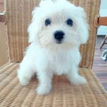Продам щенков Мальтийские Болонки, в г.Бад Ротенфельде