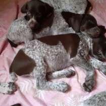 Продаются щенки Курцхаара, в Таганроге
