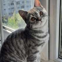 Шотландские котята, в Нижнем Новгороде