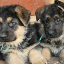 Продаются чистокровные полтора месячные щенки немецкой овчар, в г.Ташкент