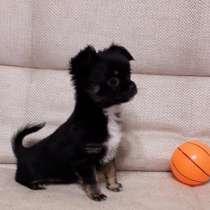 Продам щенка чихуахуа, в Пензе