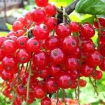 Красная смородина десертных сортов, в Миассе