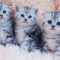 Шотландские котята в резерв, в г.Минск