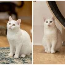 Белоснежные ангелы, Сахар и Кокос, ласковые котята-подростки, в Москве