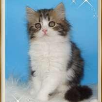 Шотландский котенок Хайленд Страйт, в Омске