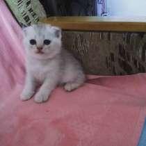 Продаются шотландские котята, в Феодосии