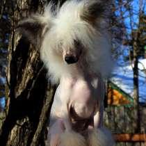 Китайская хохлатая голая девочка, в Москве